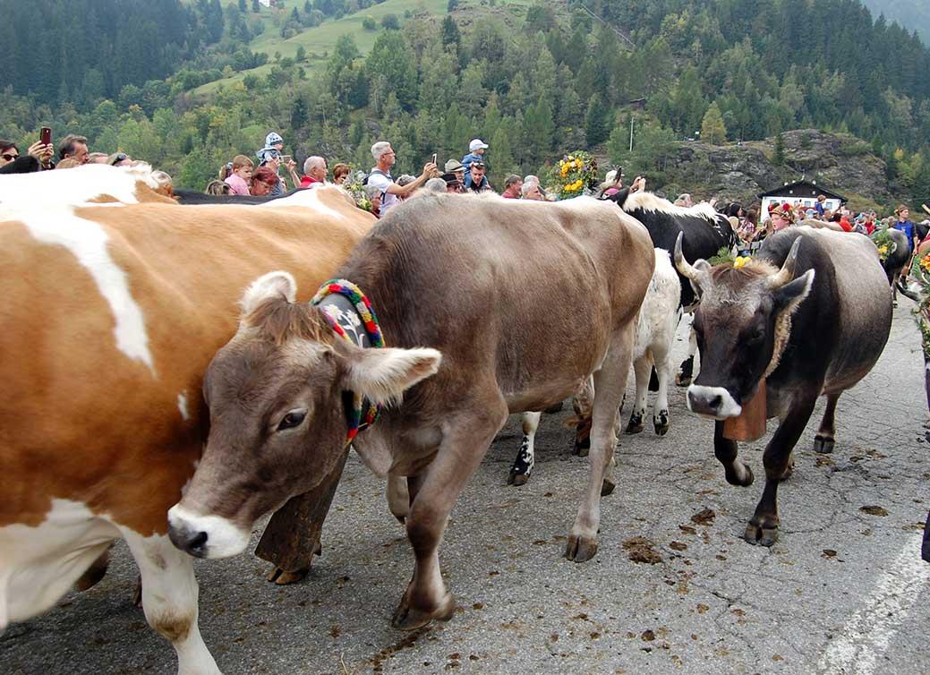 Almabtrieb in Südtirol