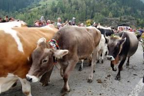 Almabtrieb in Südtirol – Tradition für Klimahelden