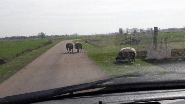 schaap op de weg platteland