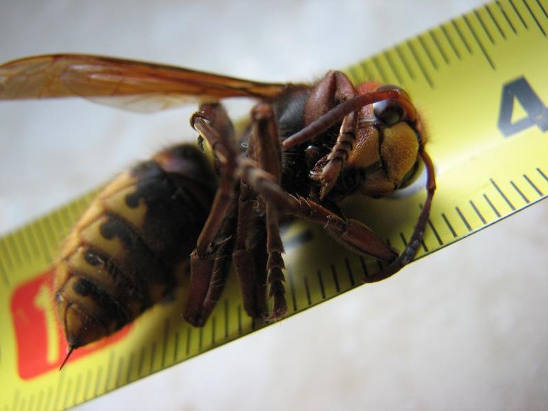 Gestoken door een hoornaar!