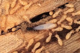 النمل الابيض واضراره