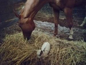 cavallo e capretta al maneggio new lord mario