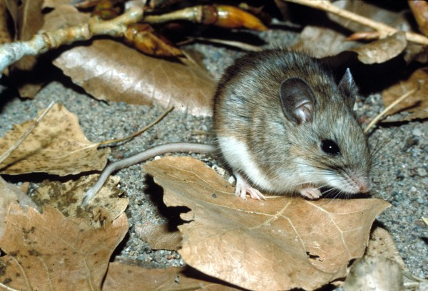 White-footed Mouse Peromyscus Leucopus