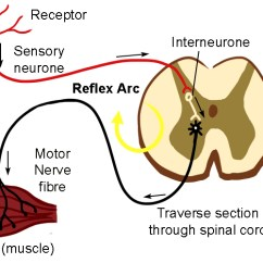 Reflex Arc Diagram Western Snow Plow Wiring Diagrams The Is Short Cut Of Signals Through Spine Redirection Straight Back To Effector Muscles Move Away