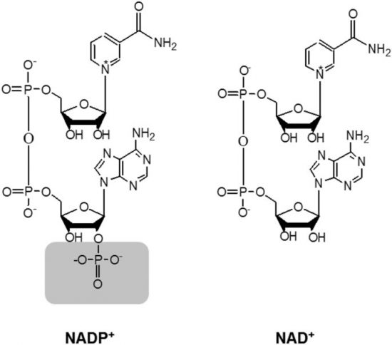 NADP+、NAD+