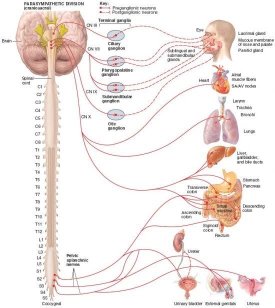 副交感神経