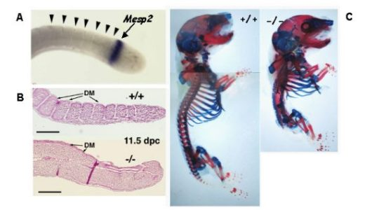 遺伝子発現不活性化-ノックアウト・ノックダウン-
