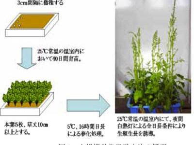 花芽形成と温度