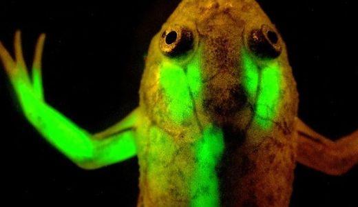 光る遺伝子組み換え生物たち