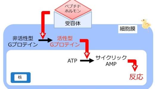 細胞内のタンパク質-内分泌に関するタンパク質-