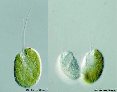 共生説-「細胞内共生」と「共生」の違い-