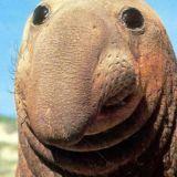 おっさんゾウアザラシの貫禄ある顔画像まとめ