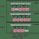 遺伝暗号の確定-コラーナの実験-