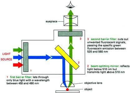様々な顕微鏡-蛍光顕微鏡・電子顕微鏡-