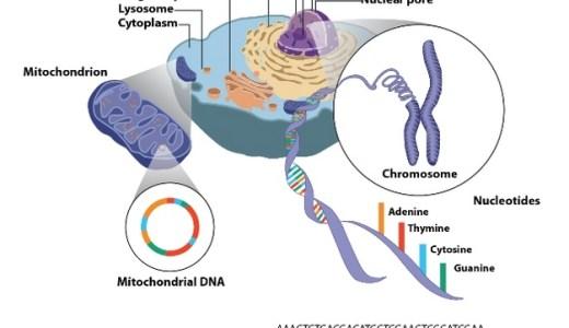 細胞質遺伝