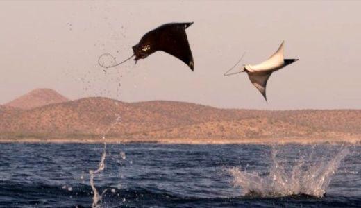メキシコの海でジャンプしまくるエイの姿がすごい-エイは何故飛ぶの?-