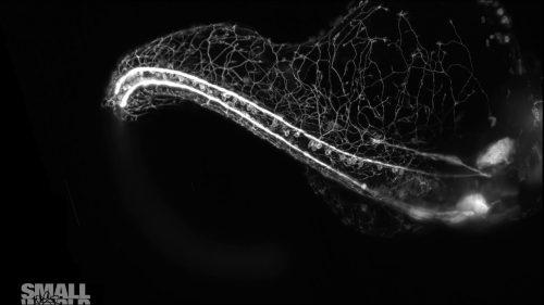 もはや奇跡!!ゼブラフィッシュの脊椎から神経細胞が軸索を伸ばしていく様子がすごすぎる!