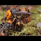 スズメバチ vs スズメバチ。2つのコロニー間での戦争
