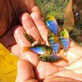 ブラジルの湖で魚を捕ってみたらナチュラルなアクアリウムだった