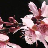 春になりました。サクラの開花(花弁の細胞の急激な成長)のタイムラプス映像
