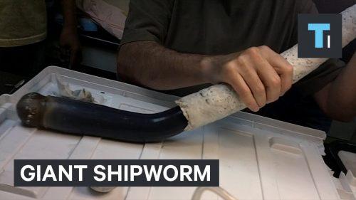 フナクイムシの一種である「エントツガイ」が貝殻からにゅるっと取り出される映像