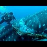 巨大なジンベエザメに絡まって肉に食い込んでいるロープを取り除いてあげた