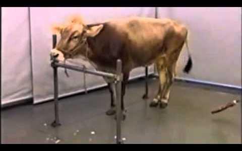 牛海綿状脳症(BSE)のウシの異常行動を記録した映像