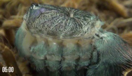 【閲覧注意】モフモフなタランチュラが震えながらゆっくりと脱皮する映像