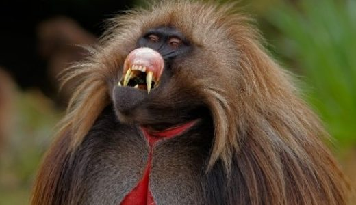 草食傾向が強いにも拘わらずゲラダヒヒの犬歯はなぜ発達しているのか