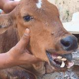 交通事故によって歯が粉砕されてしまった子牛の映像