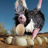 地球上に生存する中で一番大きな卵を産むダチョウの産卵映像