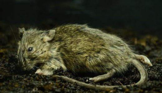 マウス(死体)を放置しておいたら、自然の力によってフサフサになった