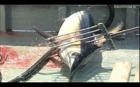 伝統的な漁の方法でメカジキを捕獲してみた