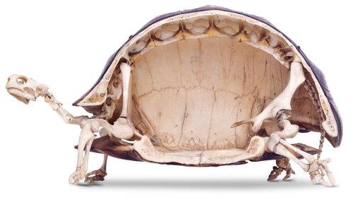 【画像】カメの骨格構造を人間で再現してみたらどうなるのか描いてみた