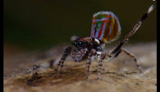 世界一美しいクモ「ピーコックスパイダー(孔雀グモ)」は求愛ダンスも美しい