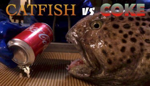 頭から下を切断したオオカミウオにコーラ缶を噛ませてみると恐ろしいことが起こった