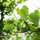 被子植物の樹木まとめ-単子葉類-
