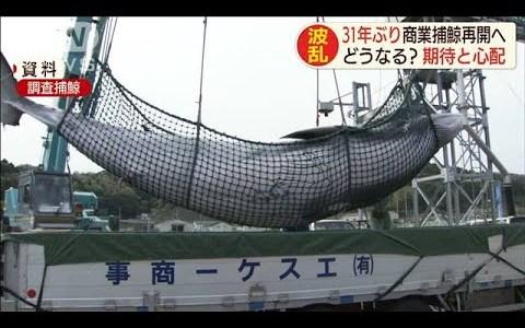 本日7月1日から31年ぶりに日本で商業捕鯨が開始される