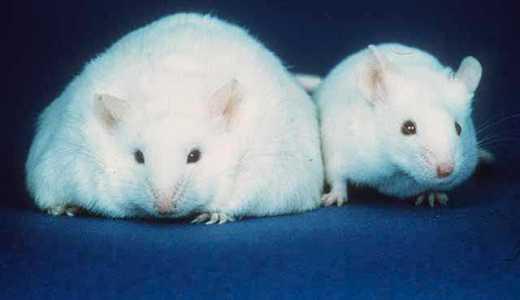 マウスの併体結合実験の結果とその理由
