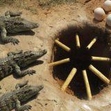 ワニの巣の近くに原始的な落とし穴を設置していたら見事捕獲に成功した