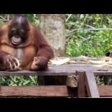 オラウータンの赤ちゃんがココナッツの実を割る様子がかわいすぎる