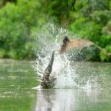 オオコウモリが川で狩りをするも、逆にクロコダイルに狩られてしまう映像
