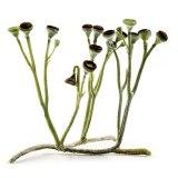 クックソニアはコケ植物?