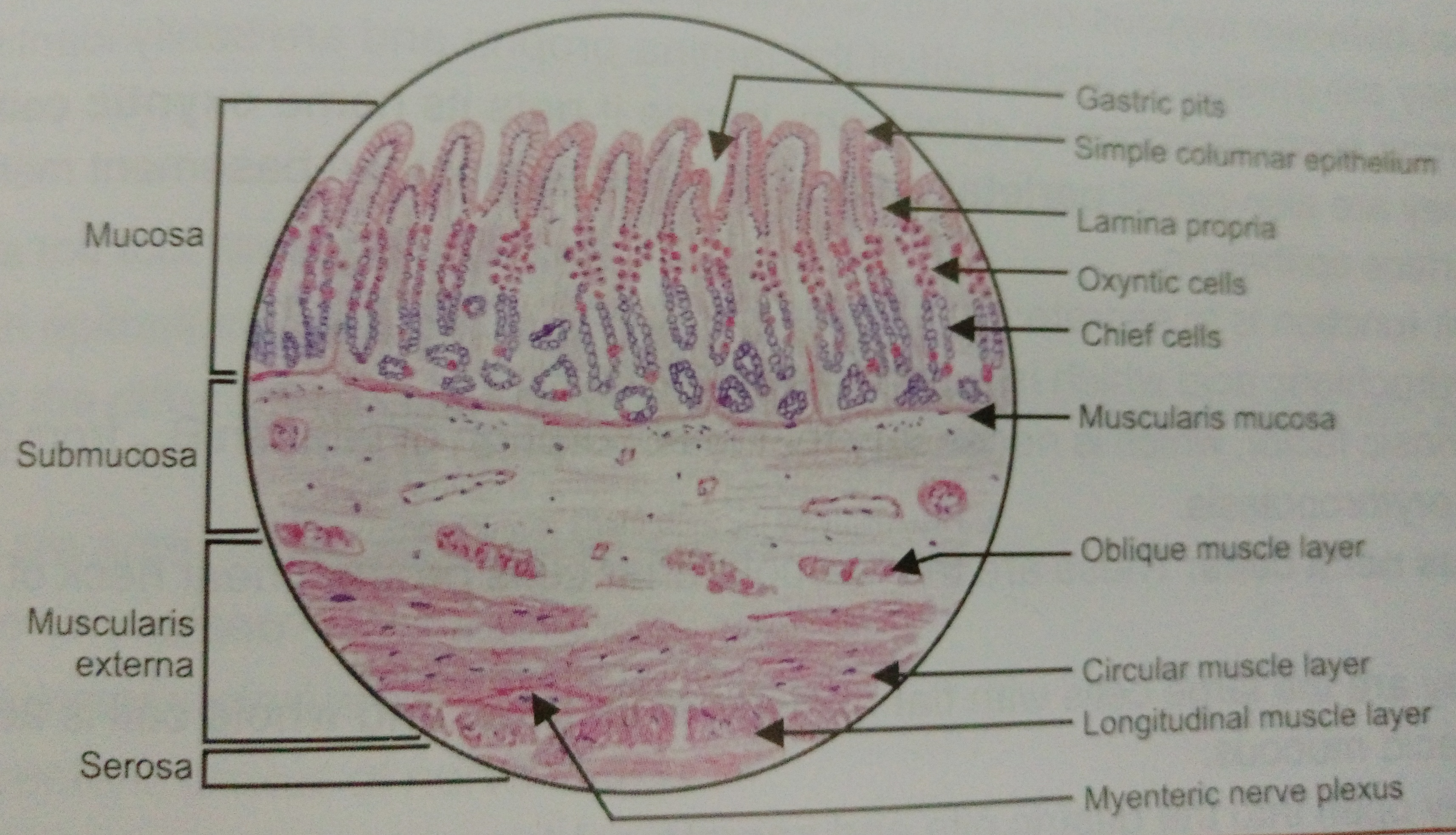 medium resolution of histology of fundus stomach manage your time 1996 posterior fundus uterus diagram of fundus