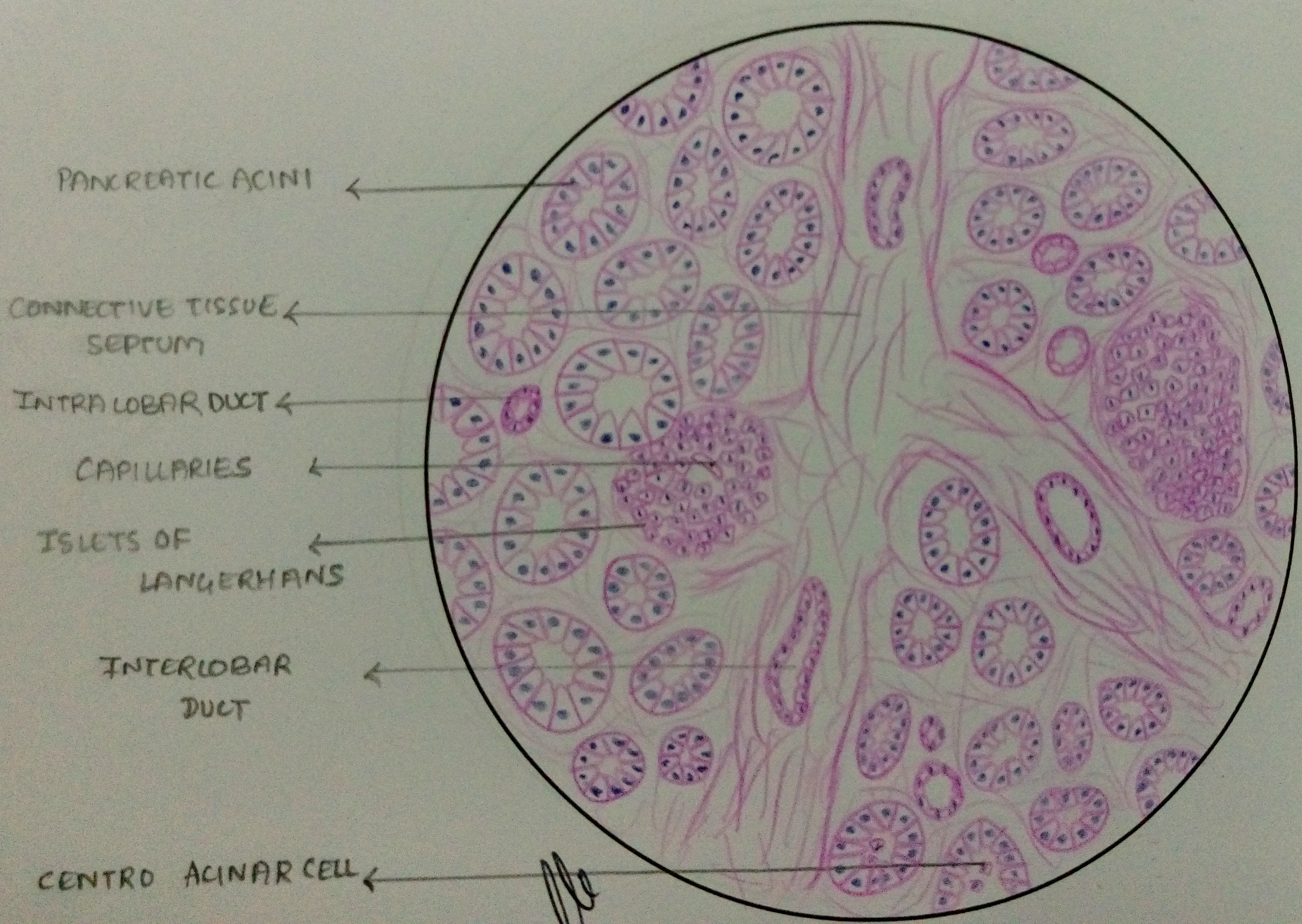 simple microscope diagram aem fic 8 wiring histology of pancreas – manage your time 1996