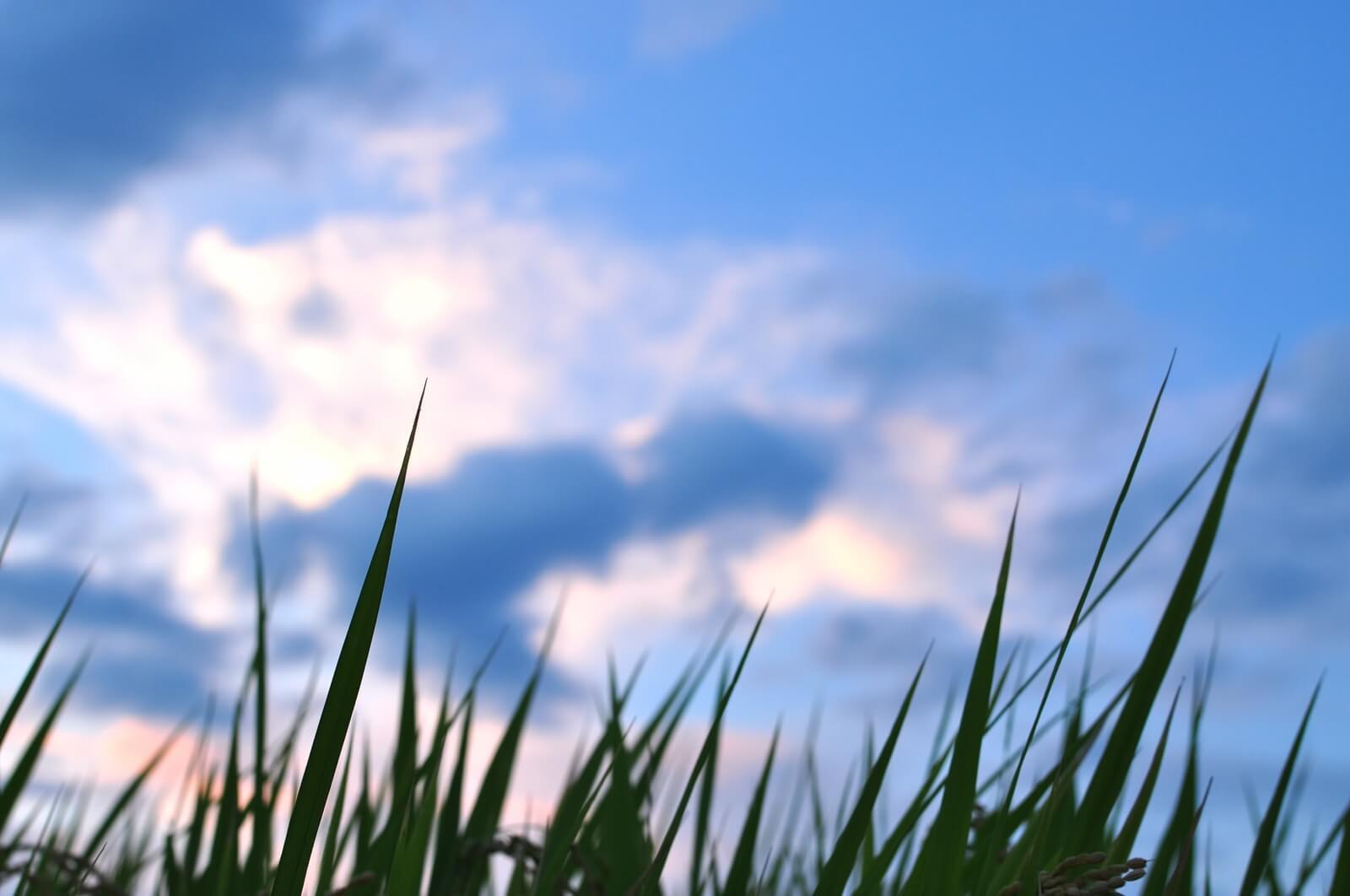 空に向かって伸びる麦