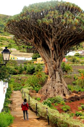 Dragon Tree, Tenerife, Spain