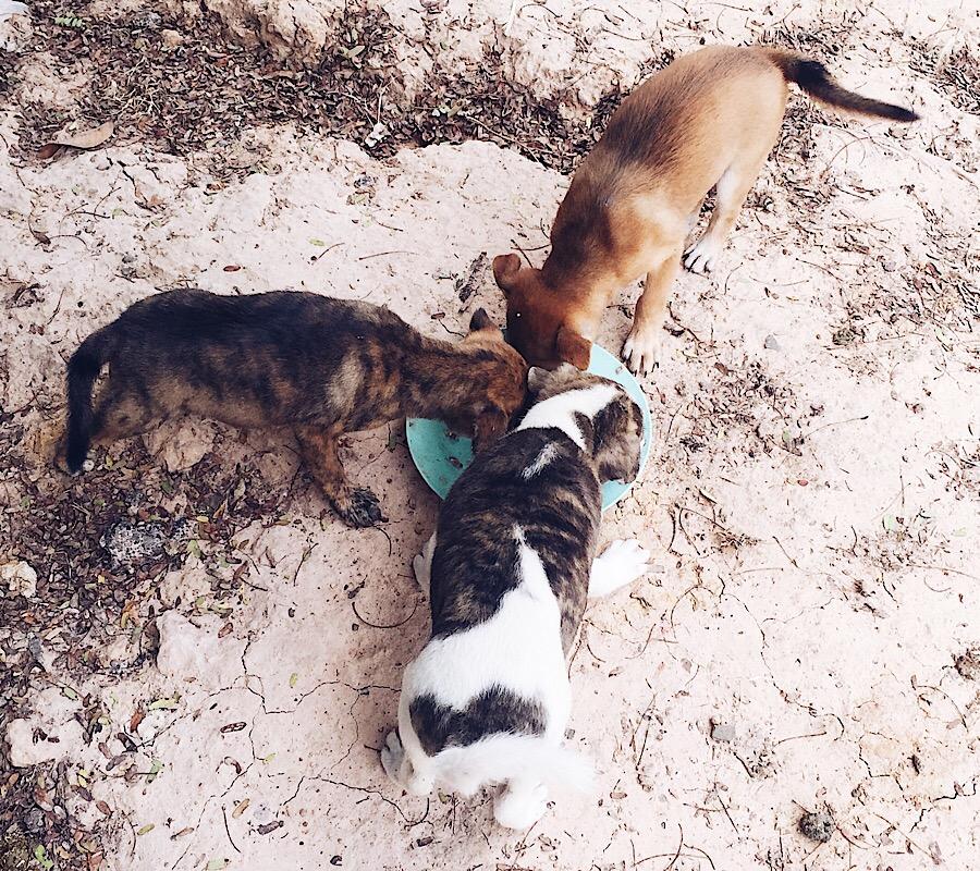 street dogs ban thawan phrai