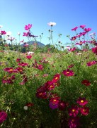 Cosmos fields at the Ikoma Plateau