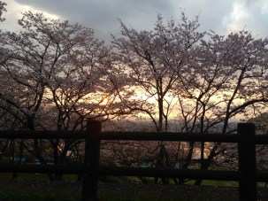 Sunset over the sakura